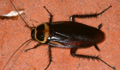 Cockroach: The Most Common Pest in Australia