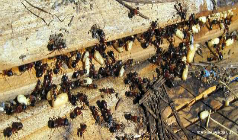 How to Prevent Carpenter Ant Infestations?