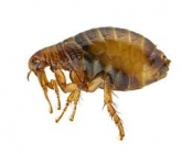 Get To Know a Lot About Fleas