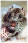 Three Humane Ways to Get Rid of Rodents