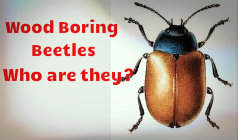 What Are Wood Boring Beetles?