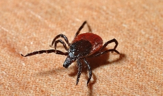 Interesting Facts And Removal Of Ticks