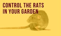 How Can You Control The Rats In Your Garden?
