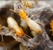 Why You Should Invest On A Termite Pest Controller?