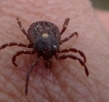 Why Ticks Controlling Is So Important?